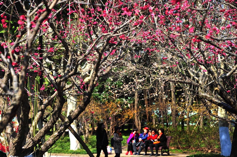 Citizens appreciate plum blossom as the city ushers in sunshine