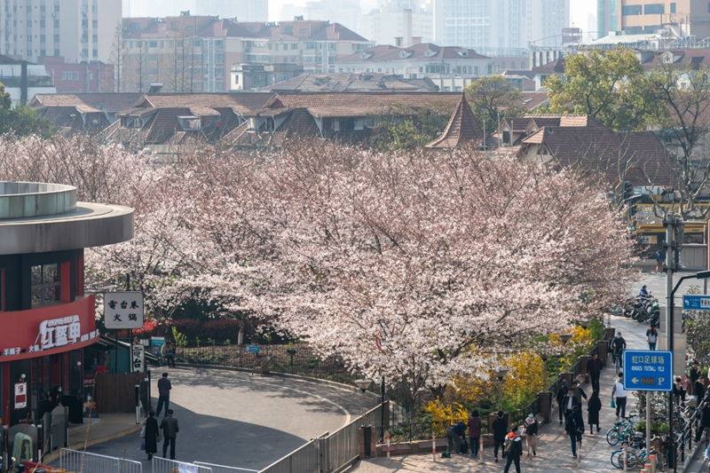 Cherry blossoms burst forth in Shanghai subway station